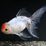 飼育員の選ぶお気に入り金魚
