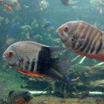 アマゾン水槽で変わった魚発見